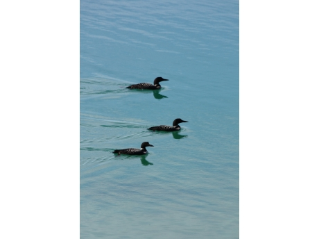 Loons enjoy Clear Lake as much as you will.